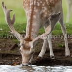 Fallow Deer (1)