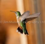 Broad-tailed Hummingbird (2)