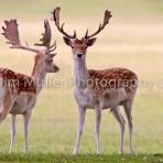 Fallow Deer (2)
