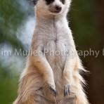 Meerkat 'on guard'
