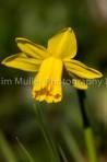 Daffodil (2)